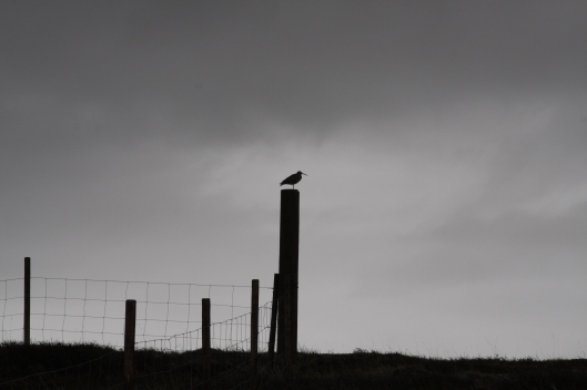 A whimbrel on a fence post